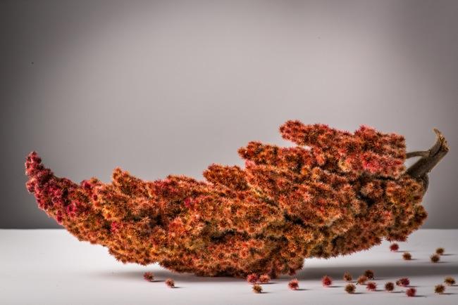 Staghorn Sumac B